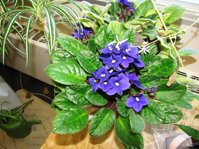 violetsinbloom